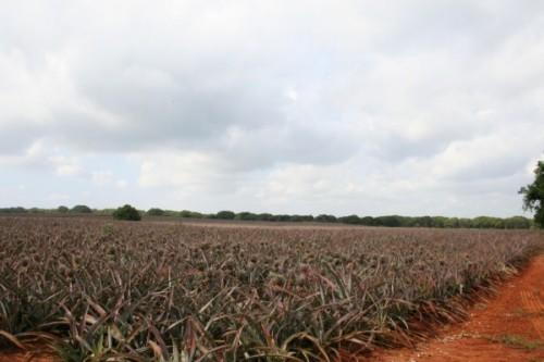 Pineapple-Tours